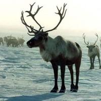Дикий северный олень. Источник: bobrovnet.com